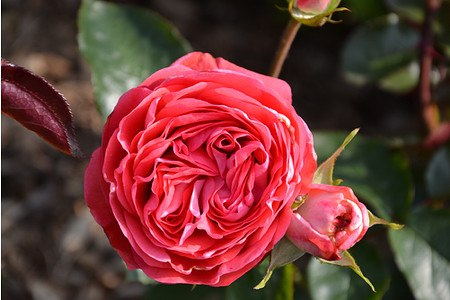 Rose Belle de Dom ® (im grossen Container)