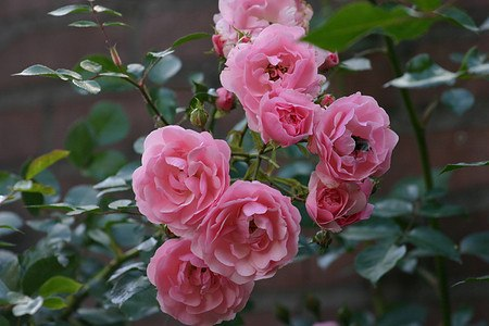 Rose Bonica 82® (im grossen Container)