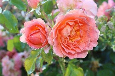 Rose Bordure Abricot ® (im grossen Container)