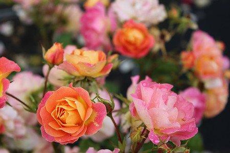 Rose Bordure Camaieu ® (im grossen Container)