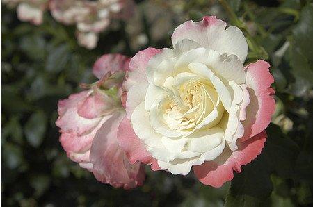 Rose Carmagnole ® (im grossen Container)