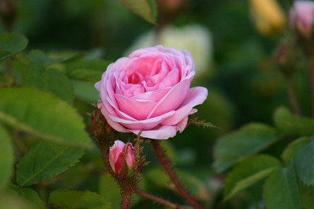 Rose Centifolia Muscosa (im grossen Container)