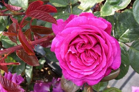 Rose Chartreuse de Parme ® (im grossen Container)