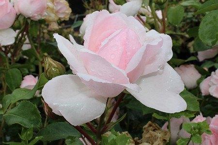 Rose Cinderella® (im grossen Container)