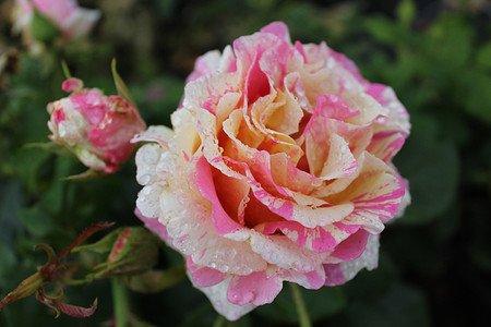 Rose Claude Monet® (im grossen Container)