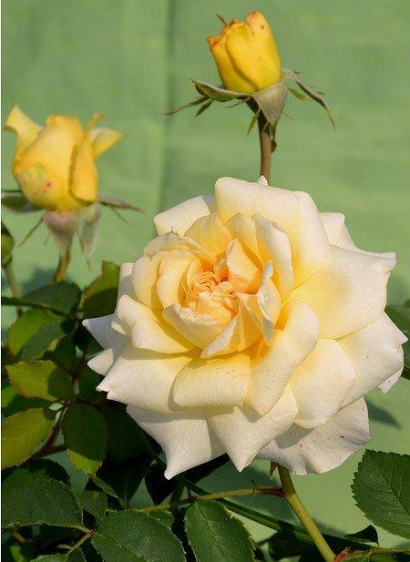 Rose Claudia Cardinale ® (im grossen Container)