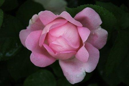Rose Constance Spry® (im grossen Container)