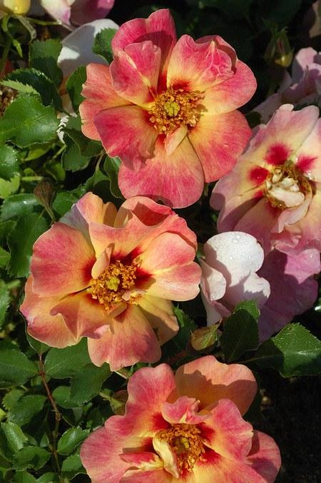 Rose Coral Babylon