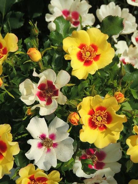 Rose Cream Babylon