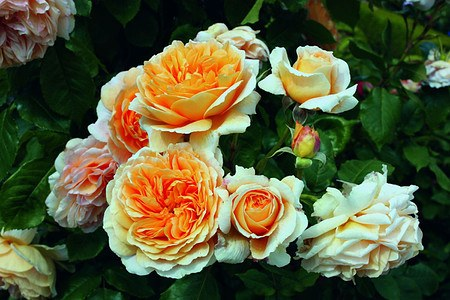 Rose Crown Princess Margareta® (im grossen Container)