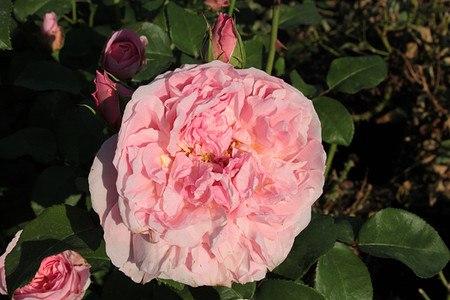 Rose Dame de Chenonceau® (im grossen Container)