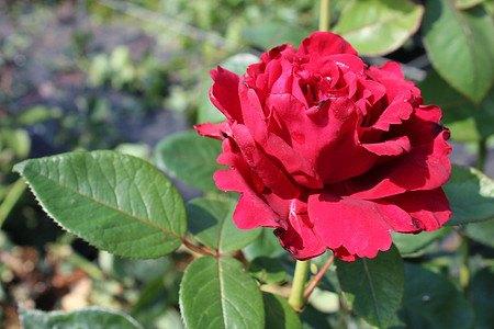 Rose de 4 vents® (im grossen Container)