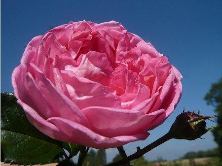 Rose de Molinard ® (im grossen Container)
