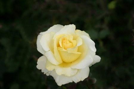 Rose Elina® (im grossen Container)