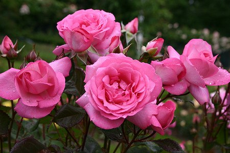 Rose Eliza (im grossen Container)