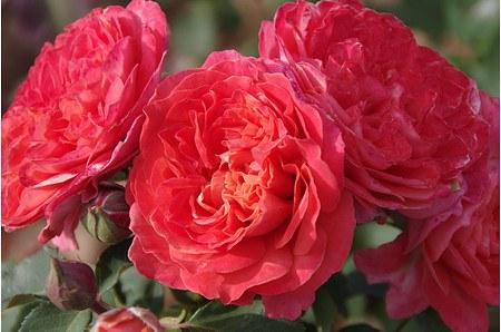 Rose Emilien Guillot ® (im grossen Container)