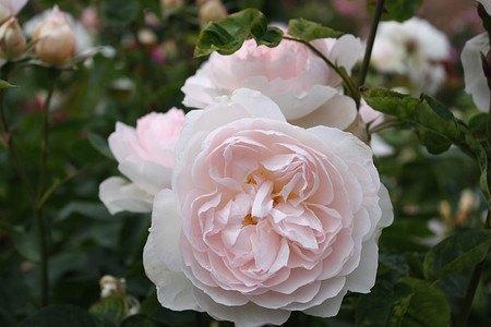 Rose Gentle Hermione® (im grossen Container)