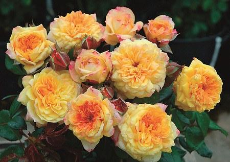 Rose Georges Denjean ® (im grossen Container)