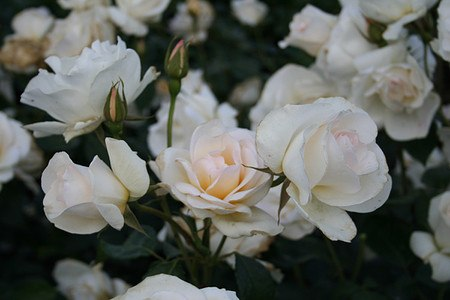 Rose Grand Nord® (im grossen Container)