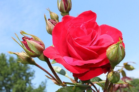 Rose Gruss an Heidelberg®