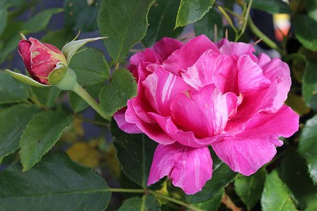 Rose Guy Savoy® (im grossen Container)