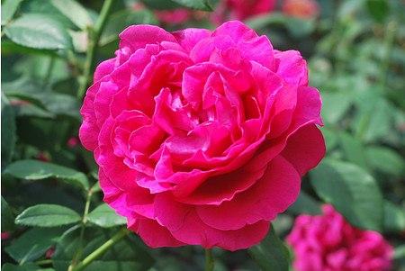 Rose Harald Wohlfahrt ® (im grossen Container)