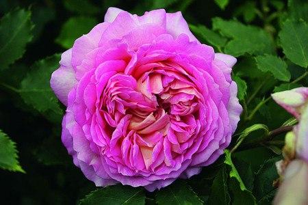 Rose Jubilee Celebration® (im grossen Container)