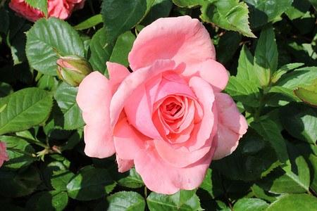 Rose Kimono