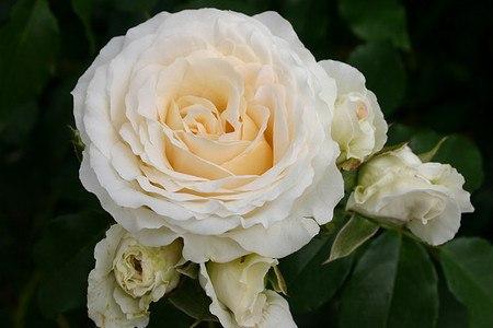Rose Kosmos (im grossen Container)