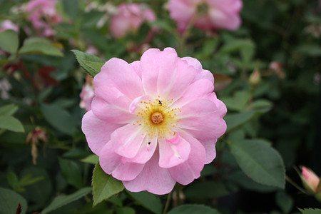 Rose Ladies Blush (im grossen Container)