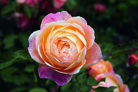 Rose Lady Emma Hamilton® (im grossen Container)