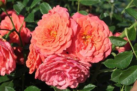 Rose Lady Penelope (im grossen Container)