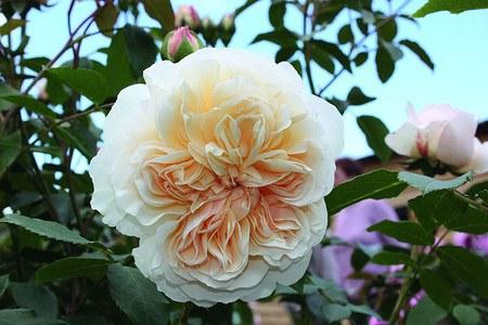 Rose Lichfield Angel® (im grossen Container)