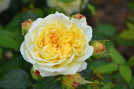Rose Nelson Monfort ® (im grossen Container)