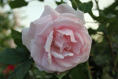Rose New Dawn (im grossen Container)