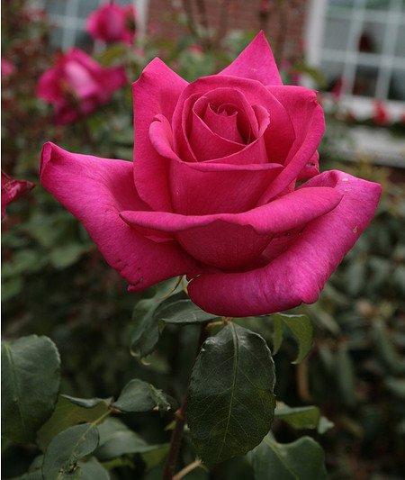 Rose Parole® (im grossen Container)