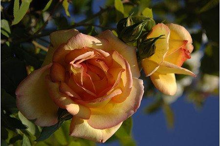 Rose Parure d`Or ® (im grossen Container)