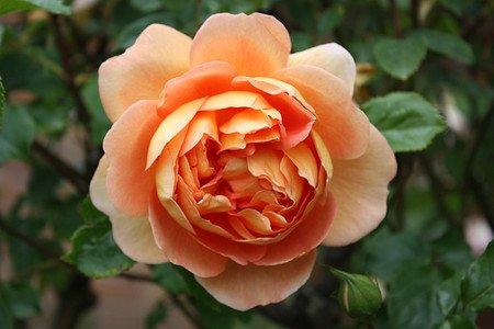 Rose Pat Austin® (im grossen Container)