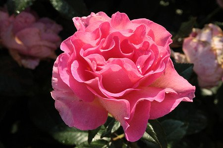 Rose Pink Paradise® (im grossen Container)