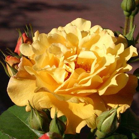 Rose Postillion® (im grossen Container)