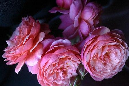 Rose Prix PJ Redouté ® (im grossen Container)