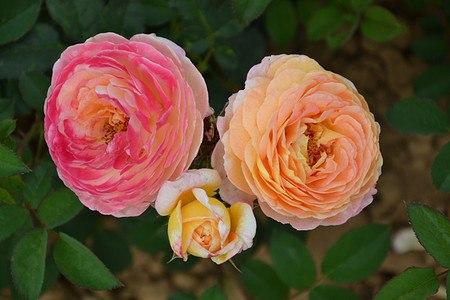 Rose Rosomane Janon ® (im grossen Container)