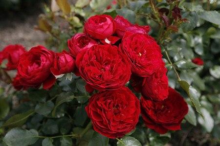 Rose Rotkäppchen® (im grossen Container)