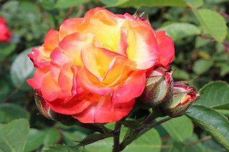 Rose Rumba®