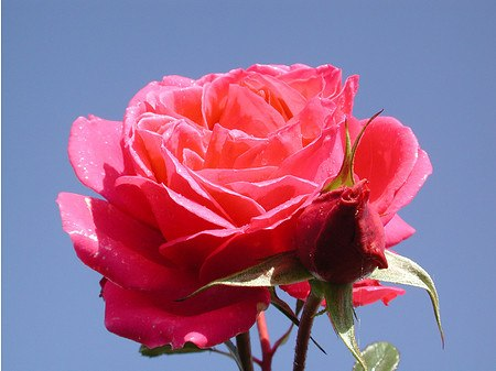 Rose Saint-Exupery® (im grossen Container)