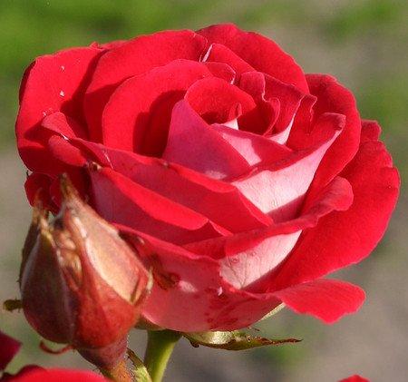 Rose Schöne Koblenzerin® (im grossen Container)
