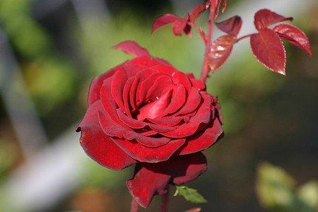 Rose Schwarze Madonna® (im grossen Container)