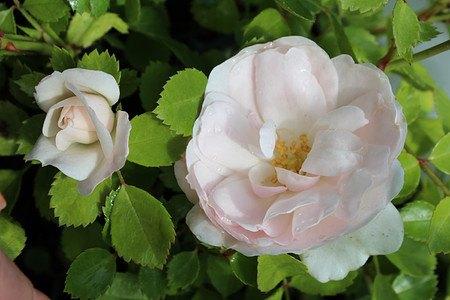 Rose Sea Foam - weisse Bodendeckerrose