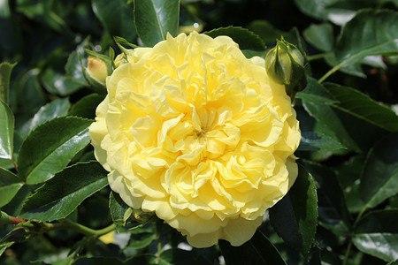 Rose Solero® (im grossen Container)