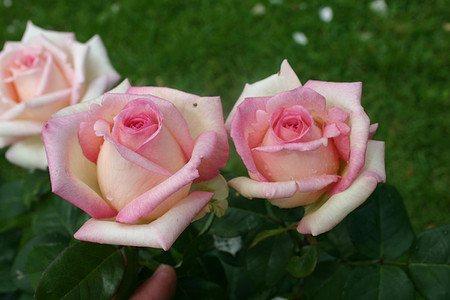 Rose Souvenir de Baden-Baden® (im grossen Container)